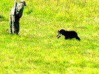 Испытания легавых и спаниелей по луговой дичи 2013