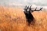 Шелеховское отделение ИООООиР предлагает охоту на косулю на гону  и оленя на реву